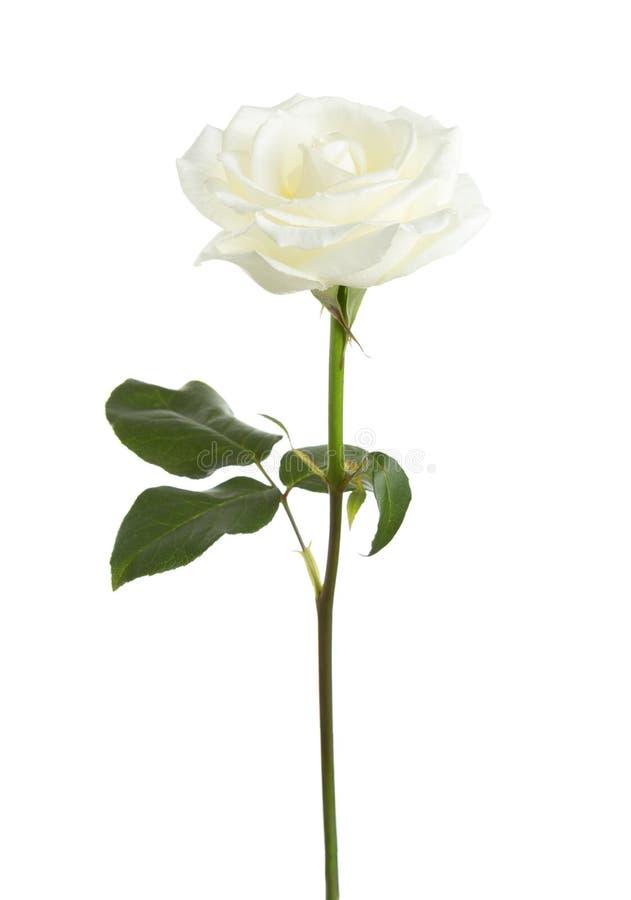 White rose isolated on white. stock image
