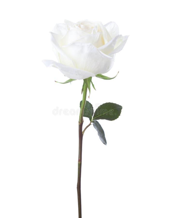 White rose isolated on white background.  royalty free stock image