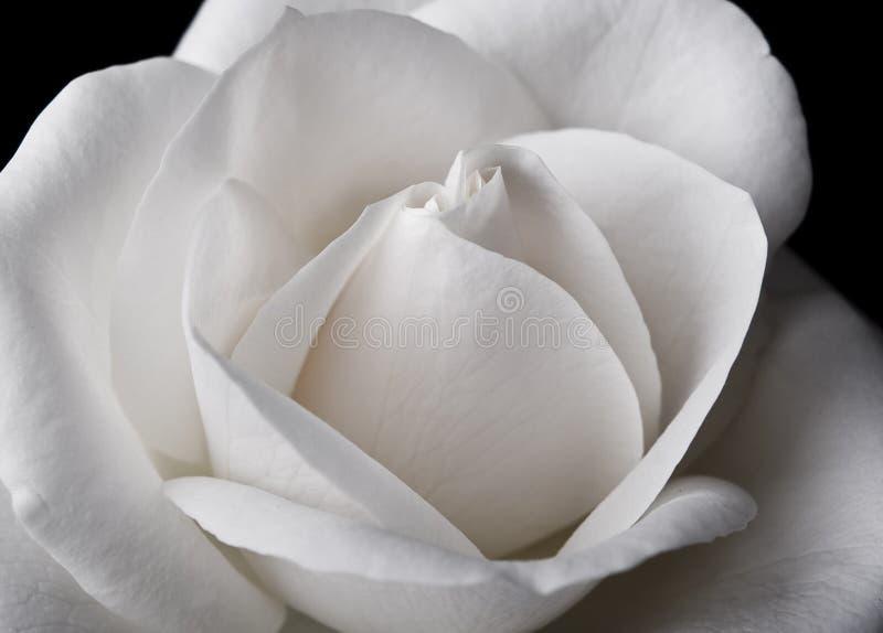 White Rose Macro. On black background royalty free stock photo