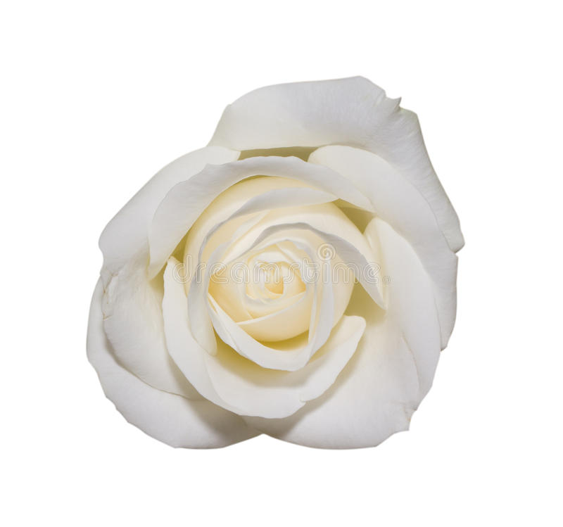 White rose in macro scale. On isolated background royalty free stock photography