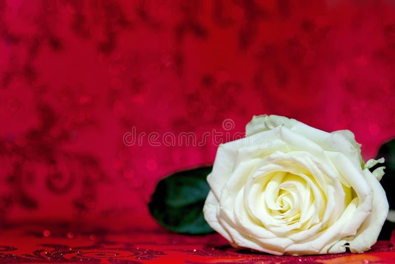 White Rose med en plats för text Kopiera textutrymmet Mall för den 8 mars, moderns dag, Alla hjärtans dag arkivbilder