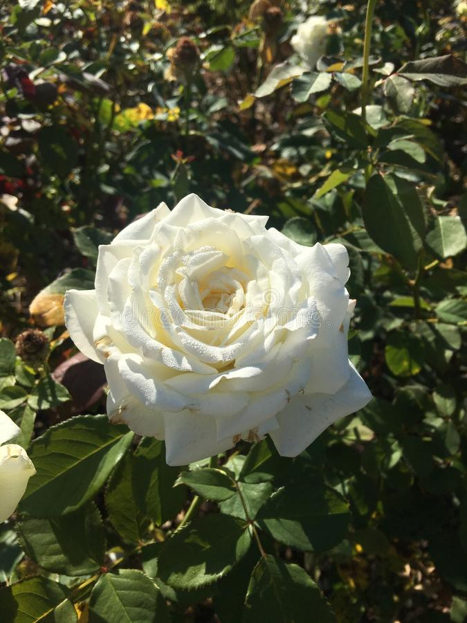A white rose in the morning light royalty free stock image