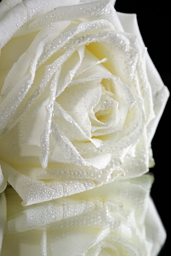 Free White Rose On Black Royalty Free Stock Photography - 8668227