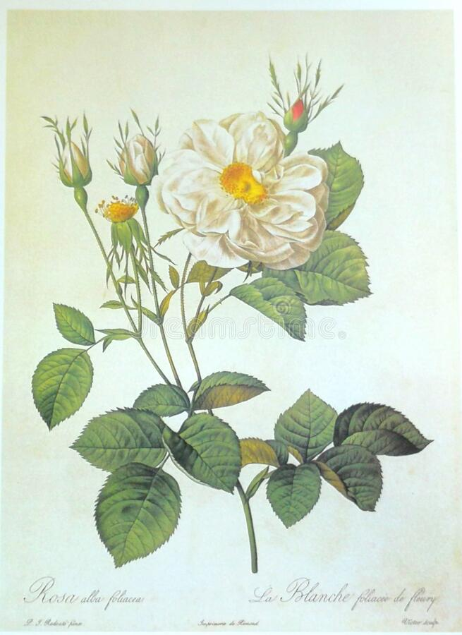 Free White Rose Pinnate Sepals Rosa Alba Regalis Rosier Blanc Royal Illustration Roses Prints Flower Floral Sketch Nature Stock Photo - 194540480