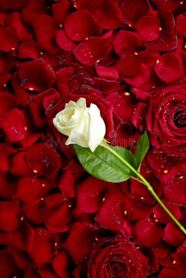 White Rose on Red Petals stock image