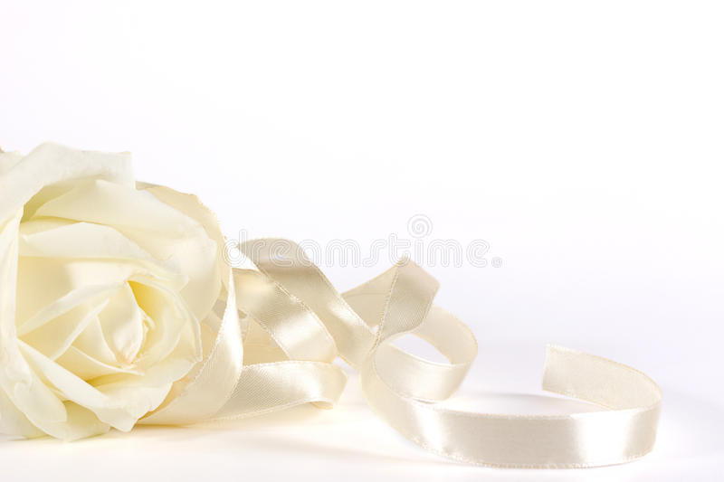 White rose and ribbon. Bautiful pearly rose and ribbon over white royalty free stock photography