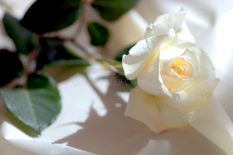 White rose on Satin royalty free stock photography