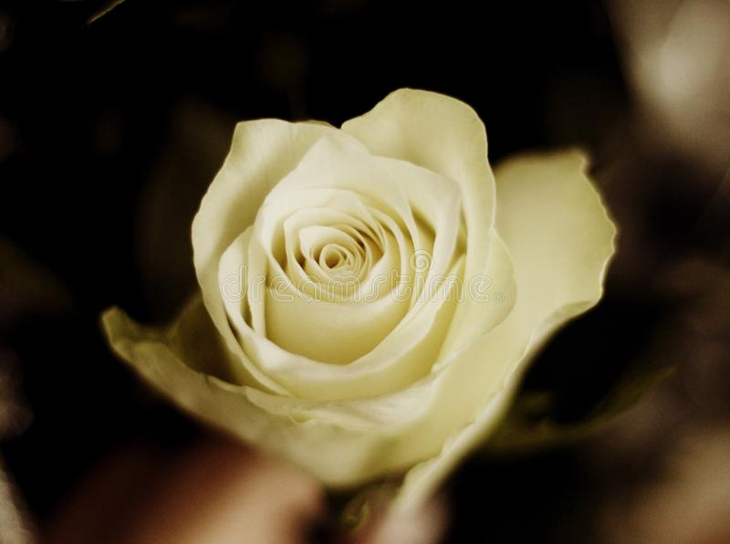 White rose in sepia royalty free stock photography
