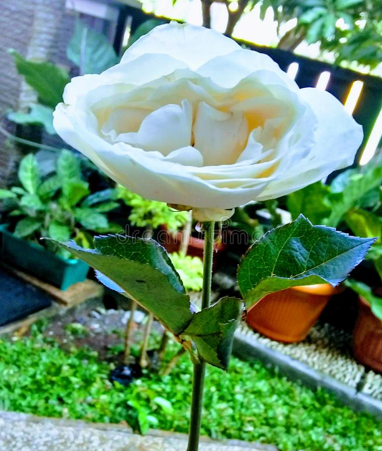 White Rose that Spesial someone has gived. It is really good rose if you want to give someone gift back beach born can chief city demak enjoy evening favorite royalty free stock photos