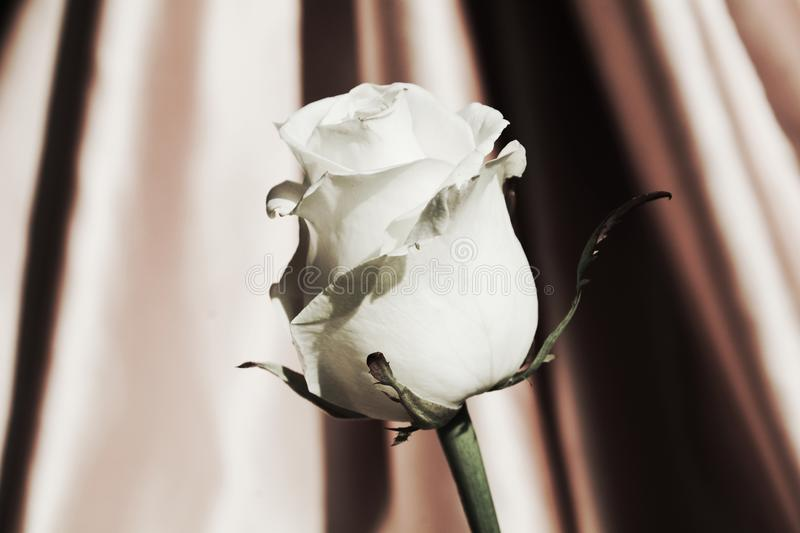 White rose, symbol of purity royalty free stock photography