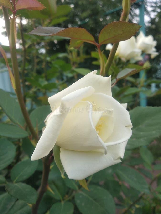 White rose stock images