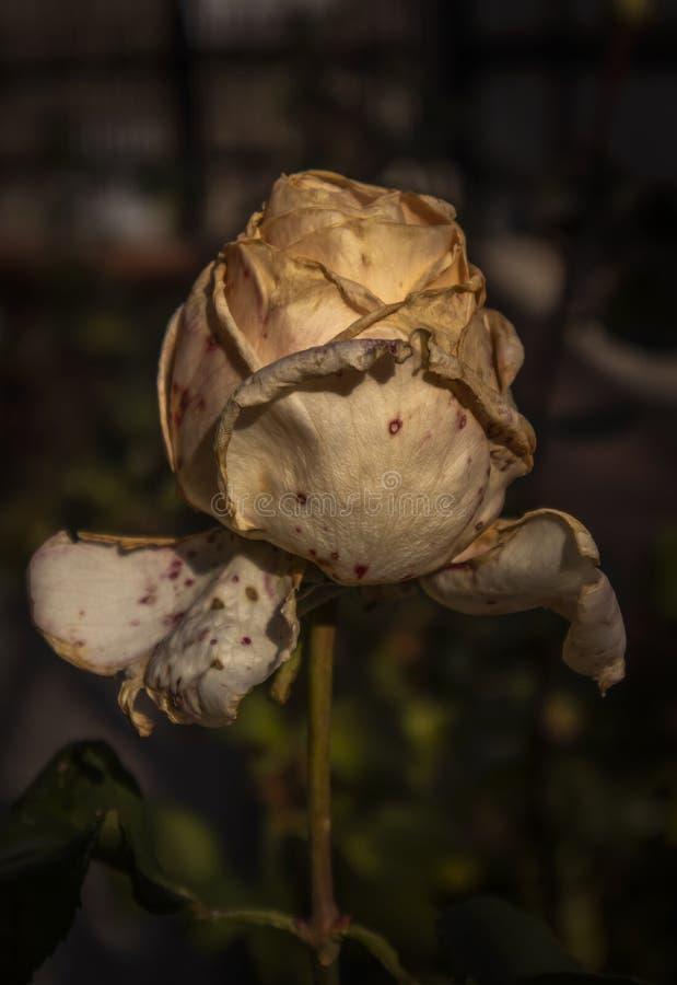 White Rosebud i Garden arkivbilder