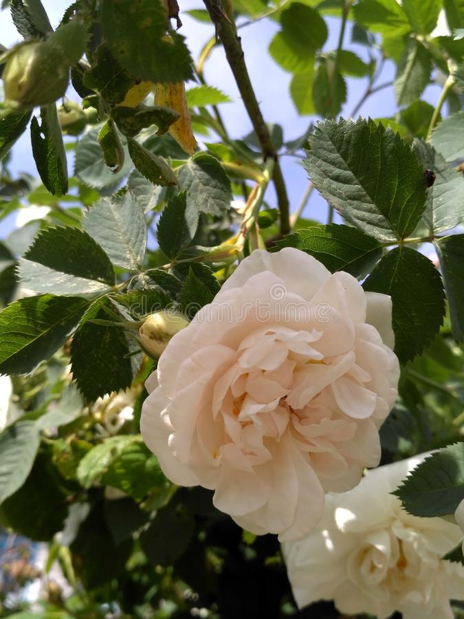 White rose. S act as a symbol of tenderness, sensitivity and youth royalty free stock image