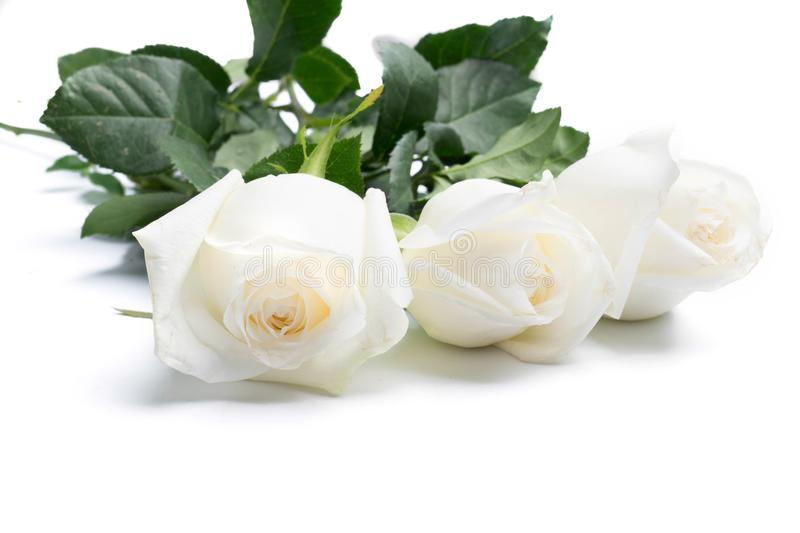 White roses on a white. Background stock photography