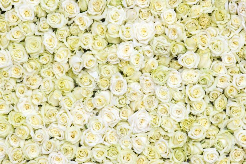 White roses background. Close up royalty free stock image
