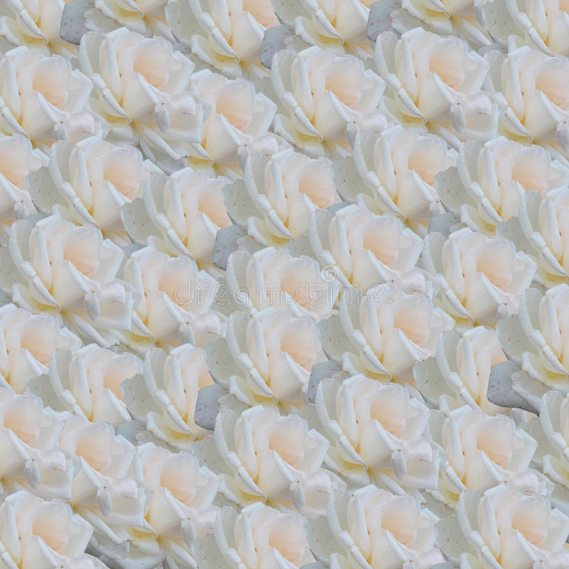Download White roses background stock photo. Image of blossom - 32688098