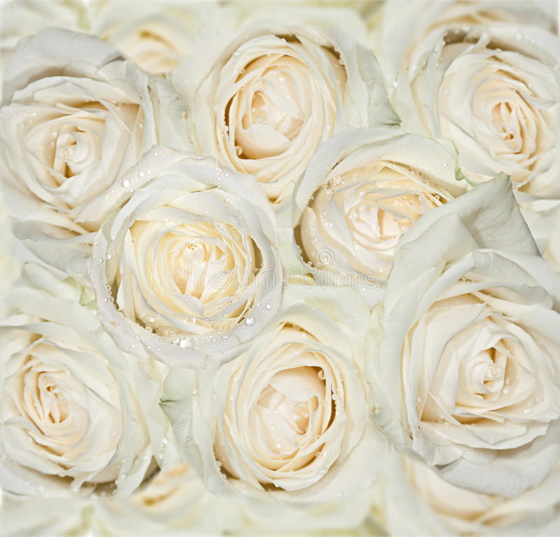 Download White roses background stock photo. Image of fragrant - 34169902