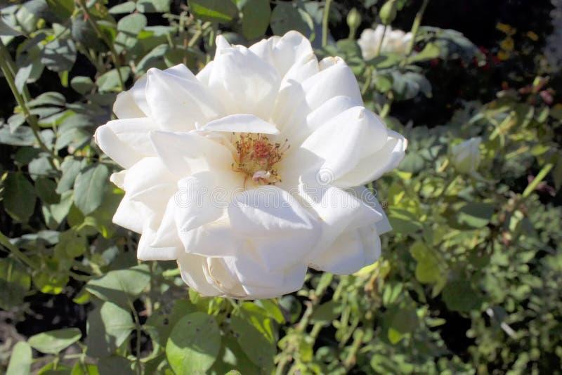 White roses. Bardovaya Grew Red Buds Rosa Red roses Buket Valentina Debutante Map royalty free stock photo