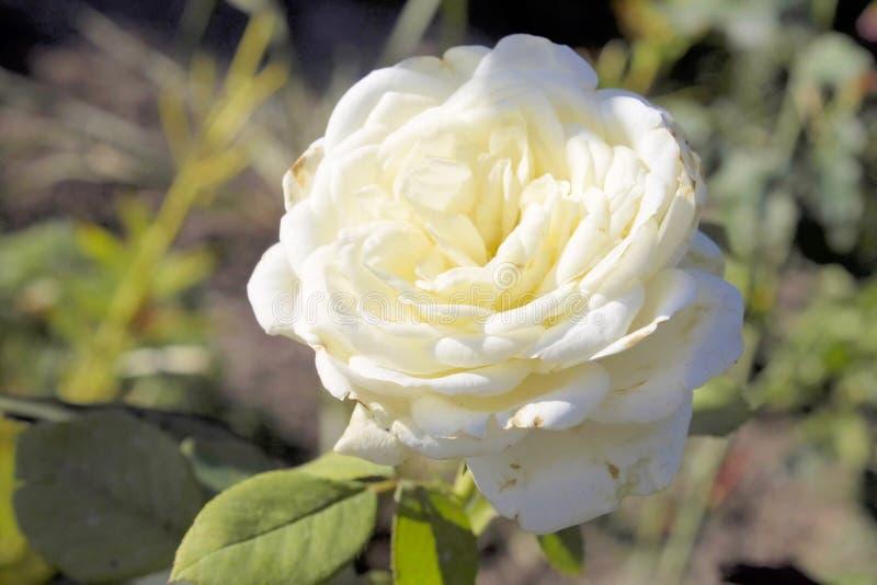 White roses. Bardovaya Grew Red Buds Rosa Red roses Buket Valentina Debutante Map royalty free stock images