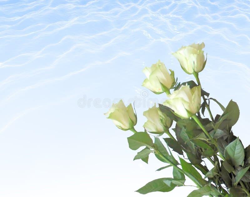 White roses. Bardovaya Grew Red Buds Rosa Red roses Buket Valentina Debutante Map stock photography