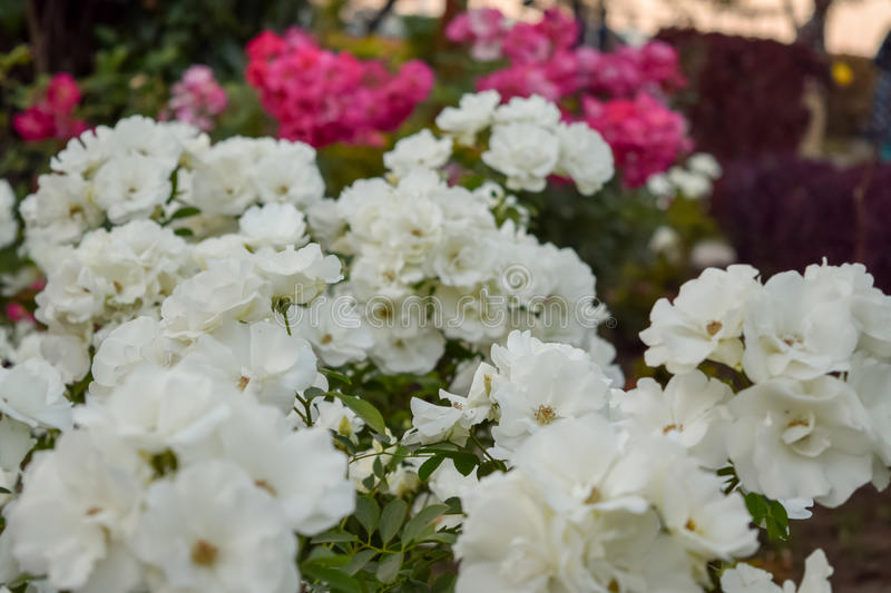 White roses blossoming in spring season. With red roses in blur background stock photos