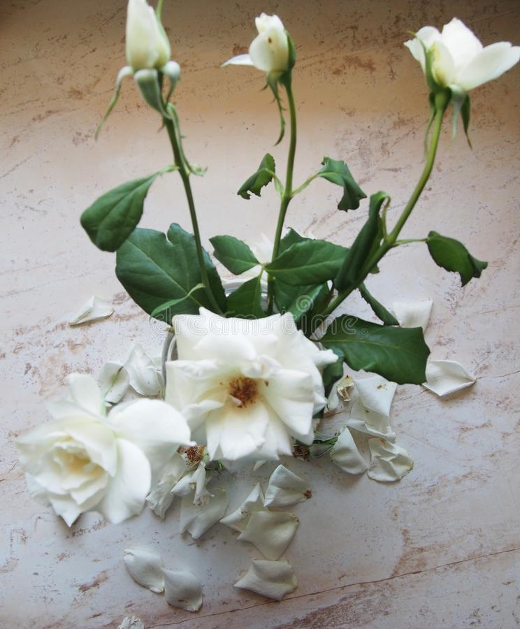 White roses on clear background stock image