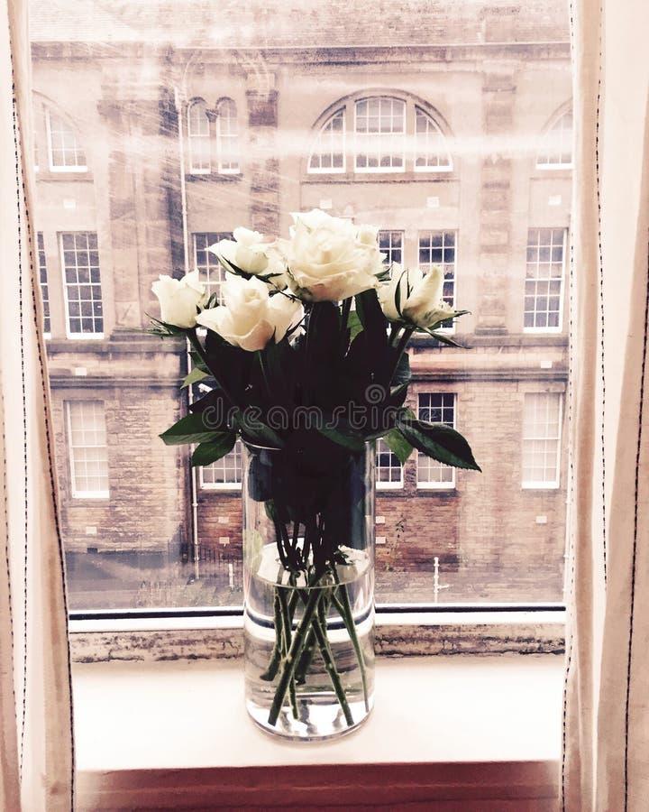 White Roses of Edinburgh stock photography