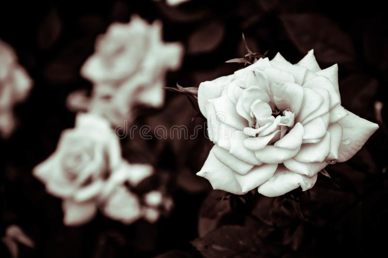 White roses flower in the garden with filter effect retro vintage style. Flower background. white roses flower in the garden with filter effect retro vintage royalty free stock images