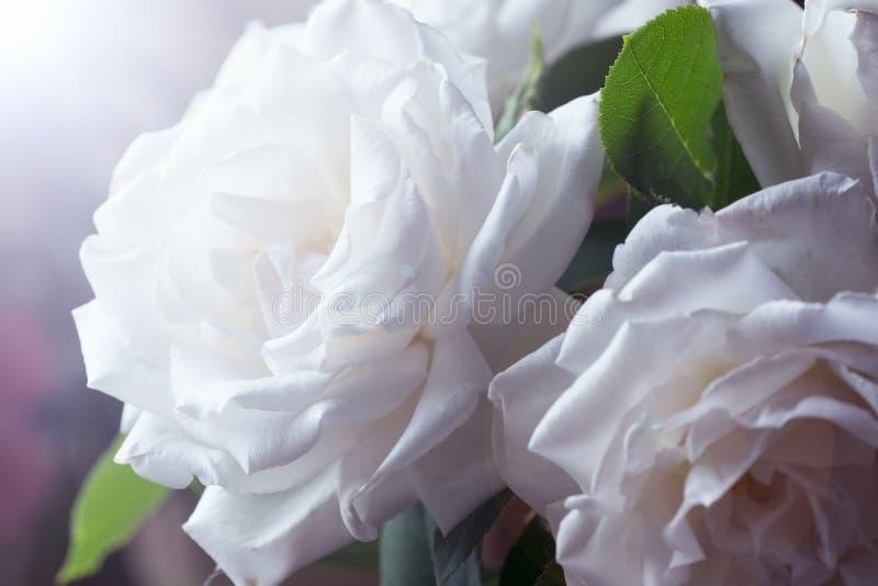 White roses in the garden. In summer stock photo