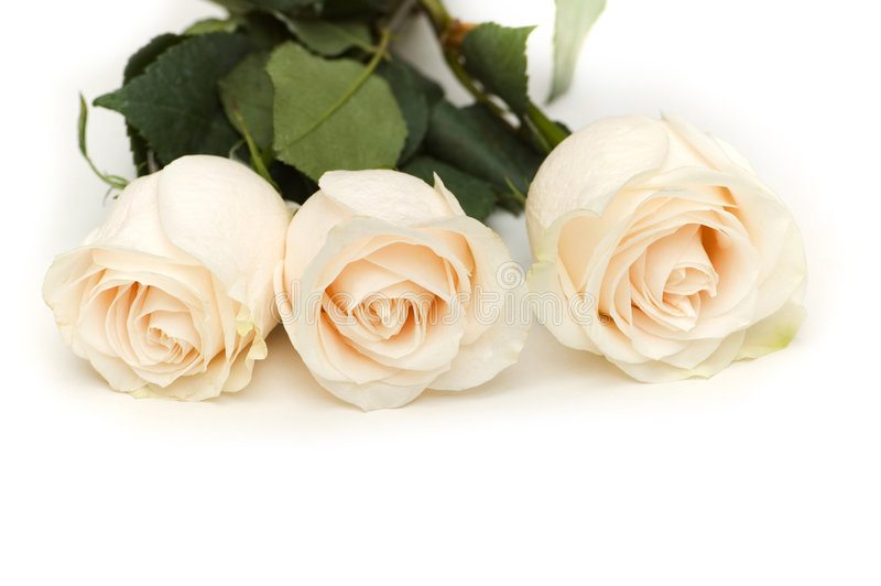 Download White Roses Isolated On The White Background Stock Image - Image: 5984801
