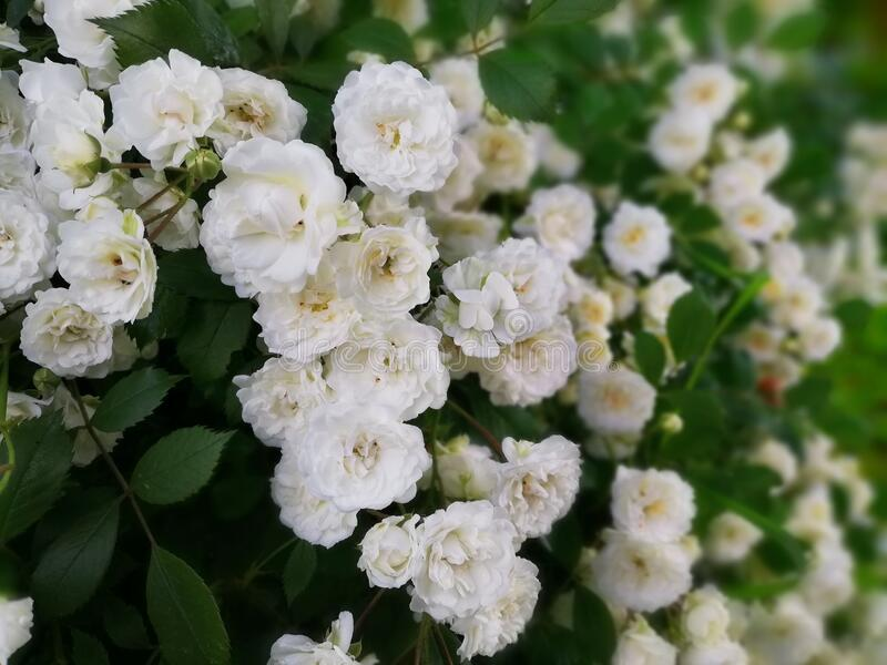 White roses at the morning stock photography
