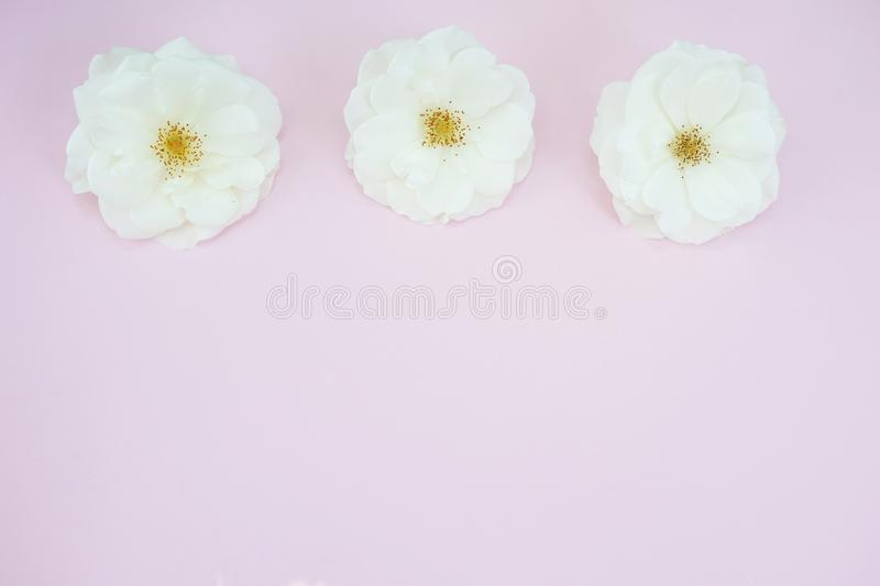 White roses on pastel pink background with copy space. Flat lay, top view stock images