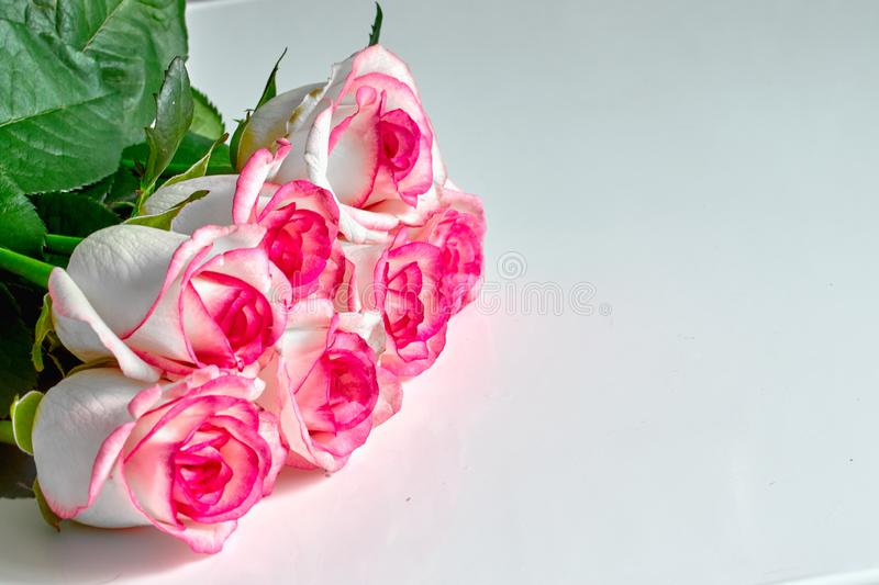 white roses with red and pink edges isolated on white background royalty free stock photography