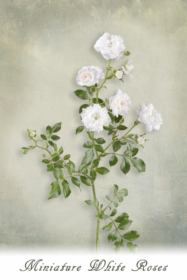 White roses with shadow and text stock image