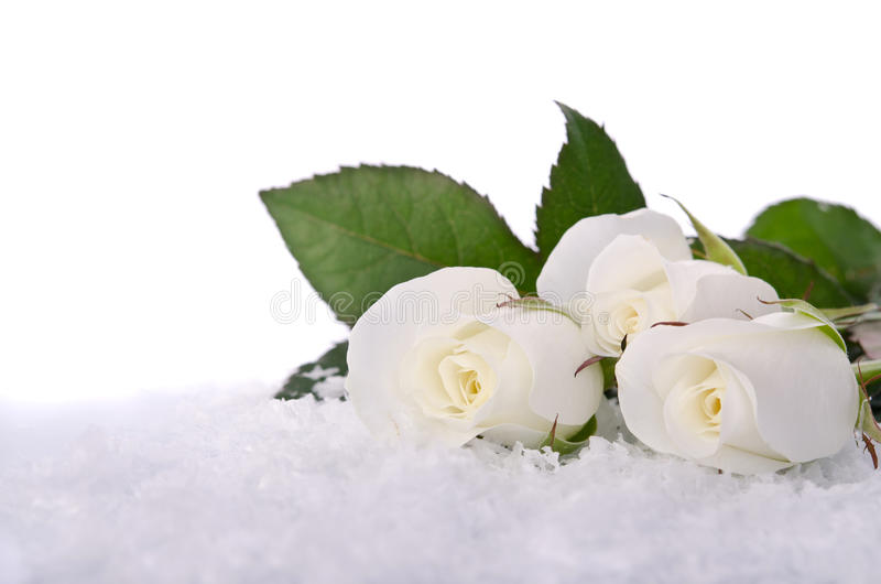 White roses in the snow. White roses in the white snow royalty free stock images