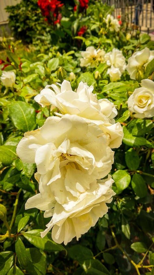 White Roses in Uttarakhand. Whiterose, flower, flowers, blossom, whiteflowers, rosewhite, rosepetals, green, plant, plants, flowerplant stock photo
