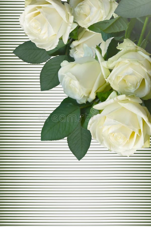 White roses on a white background. royalty free stock images