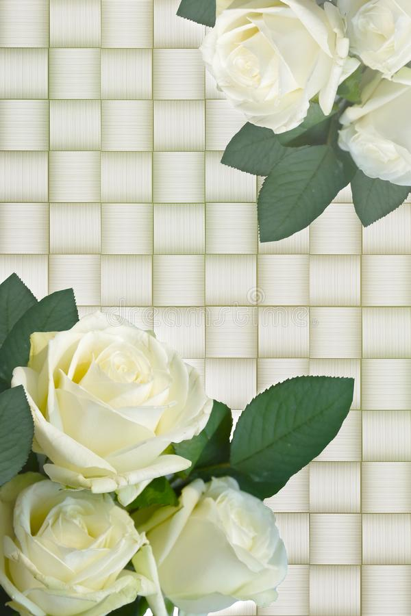 White roses on a white background. royalty free stock image