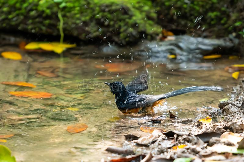 A White-rumped Shama bathing and shaking off water stock photography