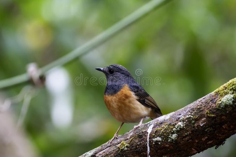 White-rumped shama on branch royalty free stock photos