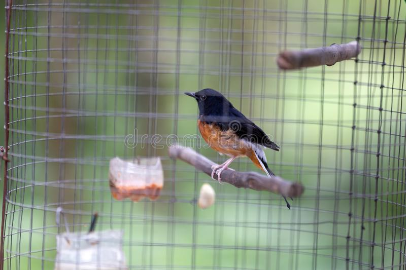 White-rumped Shama Copsychus malabaricus standing in cage stock photo