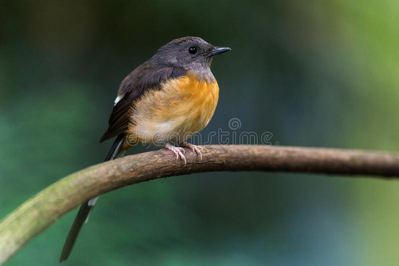 White-rumped shama in the nature stock photos