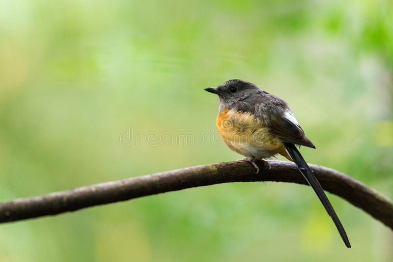White-rumped shama in the nature royalty free stock photo