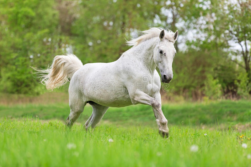 White running horse. royalty free stock images
