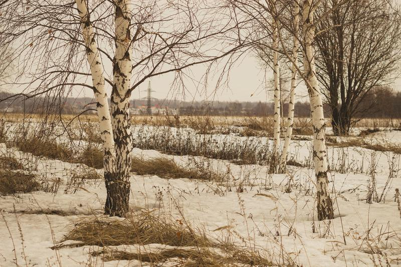 White birches in the spring field stock photos