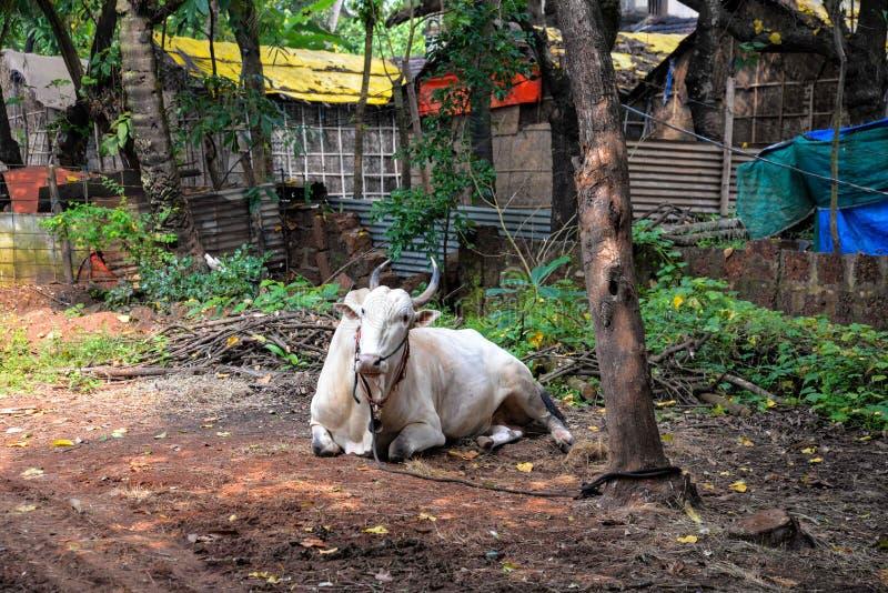 White sacred bull stock photos