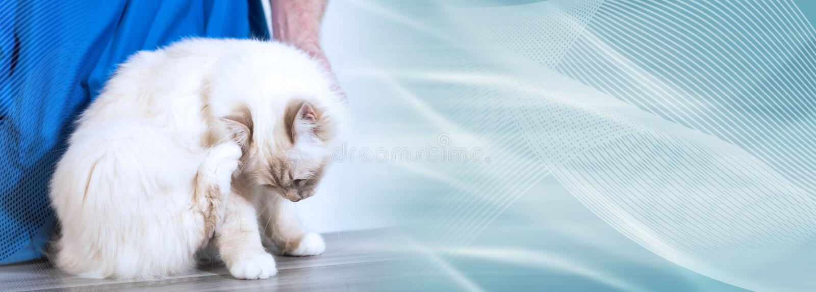 White sacred cat of burma at the vet scratching his head. panoramic banner. Beautiful white sacred cat of burma at the vet scratching his head. panoramic banner royalty free stock images
