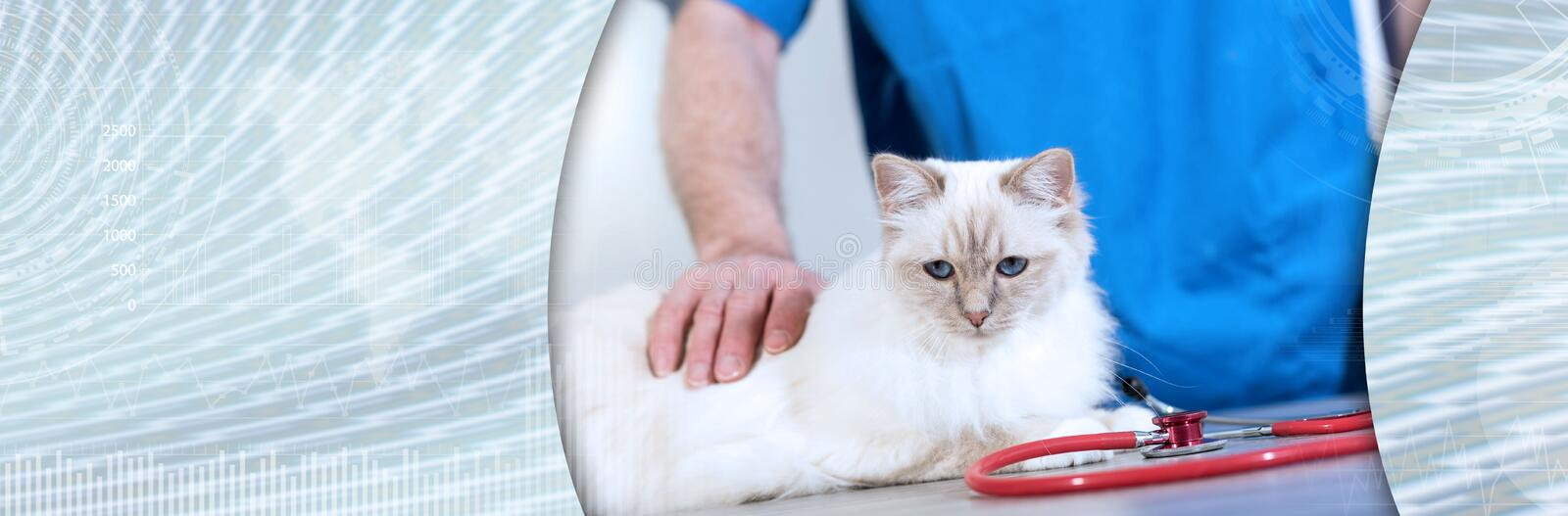White sacred cat of burma at the veterinary clinic; panoramic ba. Beautiful white sacred cat of burma at the veterinary clinic; panoramic banner royalty free stock images