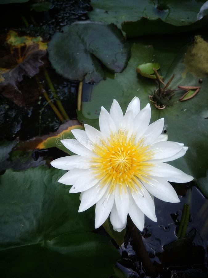 White Sacred Lotus Flower stock photos