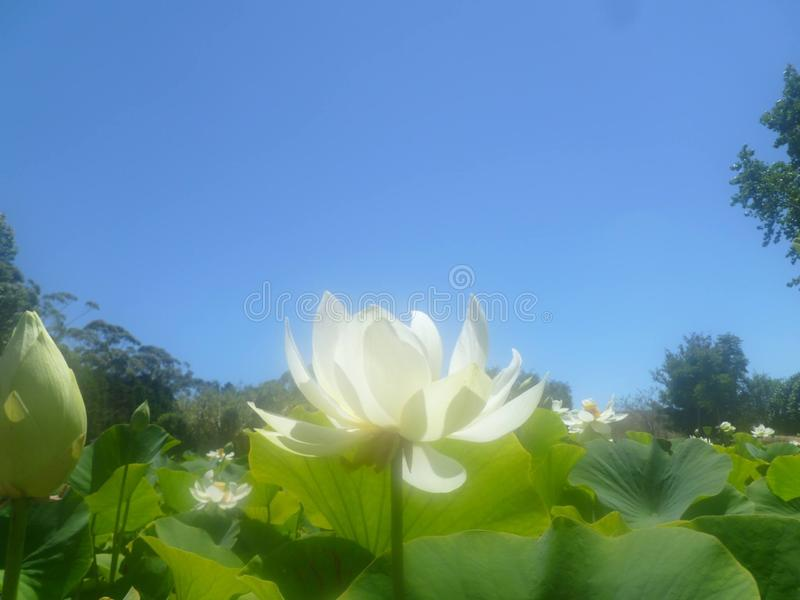 White sacred lotus held high above the water royalty free stock photography